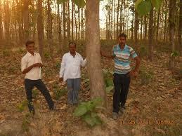 teak plantation cultivation