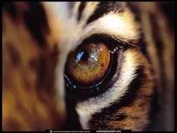 amur tigers images tiger eye hd wallpaper and background photos