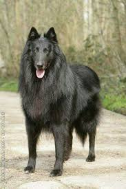 belgian shepherd rescue south africa 27 best images about shepherds on pinterest