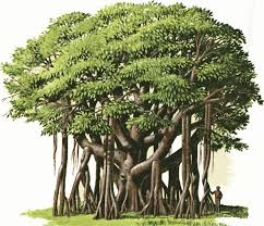 photo collection india national tree drawing