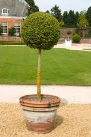 topiary trees how to make a topiary lovetoknow