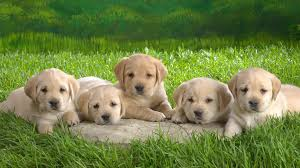 Cute Dogs Wallpapers by Golden Retriever Dog Wallpapers Full Hdq Golden Retriever Dog
