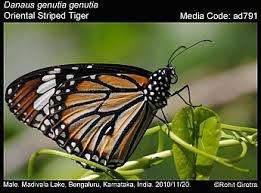 danaus genutia striped tiger butterflies of india