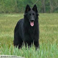 belgian sheepdog short hair 107 best annie lookalike images on pinterest animals belgian