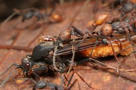 Ants In Kitchen Cabinets This Beetle Bites An Ant U0027s Waist And Pretends To Be Its The