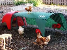 Can You Have Chickens In Your Backyard Chickens In Your Backyard Fairfax County Virginia
