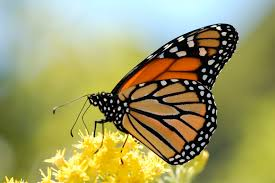 wildlife guide migrating monarch butterfly spectacle not
