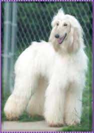 afghan hound grooming styles afghan hound pictures of afghan hound puppy photographs 6 month
