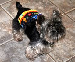 affenpinscher good bad rip to a very good little dog my britton butterfly tales