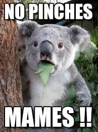 Pinches Memes - no pinches surprised coala meme on memegen