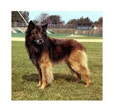 belgian sheepdog epilepsy belgian sheepdog thyroid disease information oxford labs