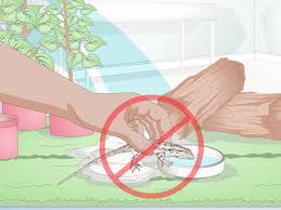 3 ways to care for a texas spiny lizard wikihow