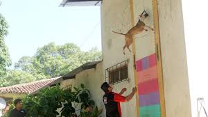 Pictures On Walls by Jumping Dogs Champion Pit Bull Can Leap Up Four Metre Walls Youtube