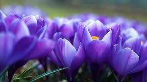 crocus flowers wallpapers in jpg format for free download