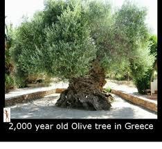 Tree Meme - 25 best memes about olive tree olive tree memes