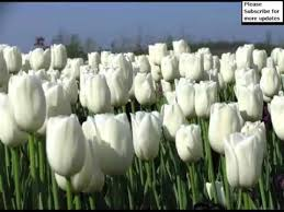 white tulips white tulips picture set of beautiful folwers