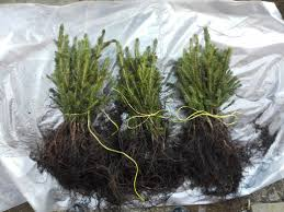 spruce plants seedlings wholesale denmark europe