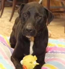 affenpinscher texas affenpinscher dogs for adoption in usa