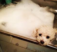 bichon frise instagram celebrate national bubble bath day with these instagram pups in tubs