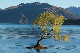 tree in lake wanaka photograph by stuart litoff