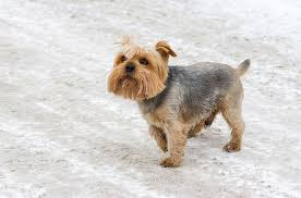 affenpinscher vs brussels griffon norfolk terrier dog breed information pictures characteristics