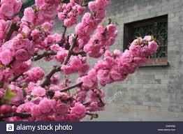 ornamental cherry tree prunus spec blooming cherry twig in