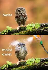Animal Pun Meme - owlet hilarious owl and animal