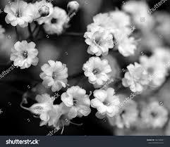 black white flowers babys breath stock photo 142100821 shutterstock