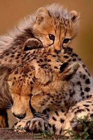 affectionate cheetahs wallpapers amazing shots of affectionate cheetahs with their tails perfectly