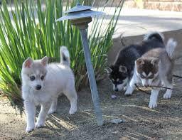 belgian shepherd gumtree 25 best pomsky breeders ideas on pinterest pomsky puppies