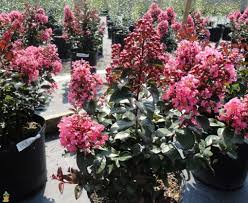 editions crape myrtle tree coral magic for sale coral