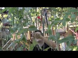 easy pea trellis easy trellises for beans and peas youtube