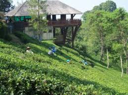 Teh Rolas Wonosari menikmati kesegaran alam di kebun teh wonosari malang yuk piknik