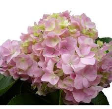 pink hydrangea bulk painted antique purple hydrangeas at wholesale prices