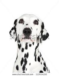 dalmatian dog stock images royalty free images u0026 vectors