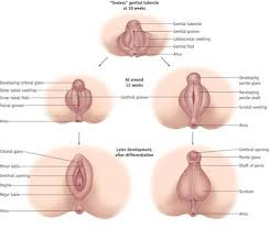 Female Sexual Anatomy Pictures Embryonic Female Sexual Development Lessons Tes Teach