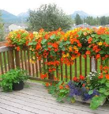 best 25 flowers for hanging baskets ideas on pinterest plants
