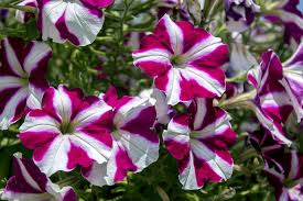 petunia free pictures on pixabay