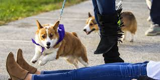 corgi stop everything and look at these corgis race at purdue university