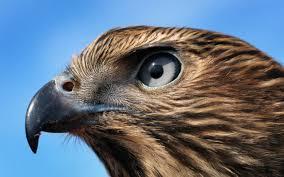 h is for hawk by helen macdonald review u0027a soaring triumph u0027
