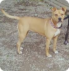 american pitbull terrier for sale in ohio goldie adopted dog toledo oh american pit bull terrier pug mix