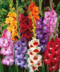 how to grow gladiolas my favourite garden flower u2026 pinteres u2026