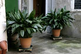 Plants That Grow In Dark Rooms by How To Grow Cast Iron Plants Aspidistra