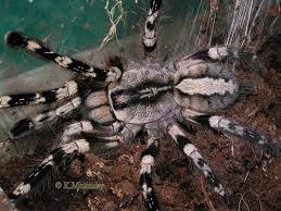 poecilotheria regalis indian ornamental they re tarantulas