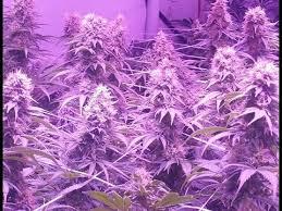 Led Grow Lights Cannabis Bigbud Led Grow Lights Cannabis Grow Test Results U0026 Review