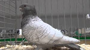 frill fancy pigeon classic