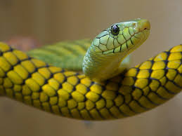 a green snake wallpapers green snake wallpaper snakes animals wallpapers for free download