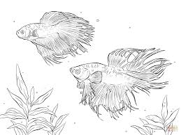 two siamese fighting fishes coloring page free printable