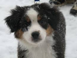 south texas australian shepherd rescue miniature australian shepherd puppies in wisconsin