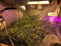 Trellis 8 Growdiaries Taz U0027 First Grow Week 9